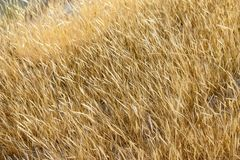 Field of grasses royalty free stock image