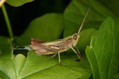 Field grasshopper (Chorthippus apricarius) Royalty Free Stock Photos