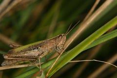 Field grasshopper (Chorthippus apricarius) Stock Photos