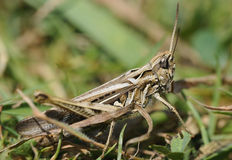Field Grasshopper Royalty Free Stock Images