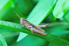 Field grasshopper (chorthippus brunneus) on grass Stock Images