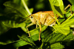 Free Field Grasshopper On A Leaf Stock Image - 72785541