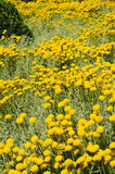 Field of gray santolina Royalty Free Stock Image