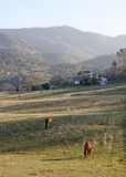 A Field of Grazing Horses In The Sun. Horses grazing in a homestead field on a lovely sunny day Stock Photos