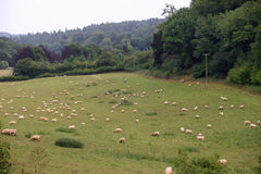 Field with grazing sheep Stock Image