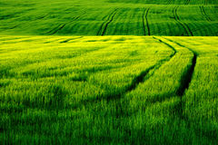 Field green. Green field in of an early evening sun Royalty Free Stock Photos