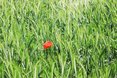 Field of green Barley with red Poppy Stock Photo