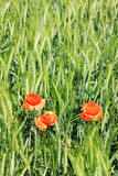 Field of green Barley with red Poppy Royalty Free Stock Photo
