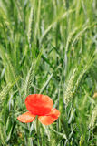 Field of green Barley with red Poppy Stock Photography