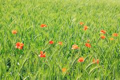 Field of green Barley with red Poppy Royalty Free Stock Photos