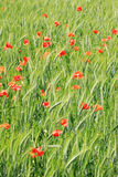 Field of green Barley with red Poppy Royalty Free Stock Images