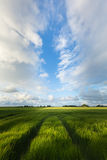 Field with green barley in summer with a blue sky and white clouds Stock Photo