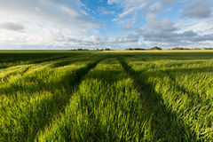 Field with green barley in summer with a blue sky and white clouds Stock Images