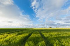 Field with green barley in summer with a blue sky and white clouds Stock Photos