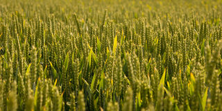 Field Of Green Barley Stock Photo