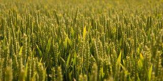 Field Of Green Barley Stock Photo