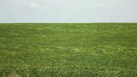 Field of green buckwheat stock footage