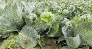 Field with green cabbage Stock Images