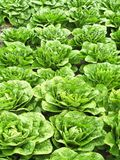 Field of green cabbages Royalty Free Stock Images