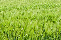 Field of green cereals. Field of cereal green grain plants growing spikes spring Royalty Free Stock Image