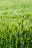 Field of green cereals. Field of cereal green grain plants growing spikes spring Stock Images