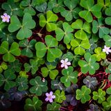 Field of green clovers. Field of flowering green clovers seen at Muir Woods, California Royalty Free Stock Image