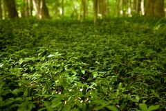 Field of green clovers and vegetation stock photography