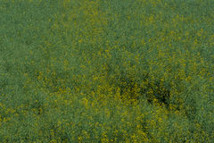 Field of green colza Stock Images