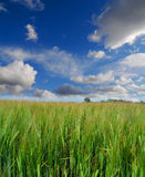 A field with green corn Stock Images