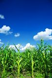 Field of green corn Royalty Free Stock Images