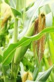 Field of green corn Royalty Free Stock Photos