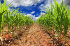 Field of green corn. And blue sky Stock Images