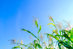 Field of green corn during summer Stock Photography