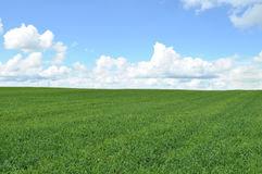 Field of green crop Royalty Free Stock Image