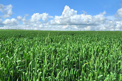 Field of green crop Stock Image