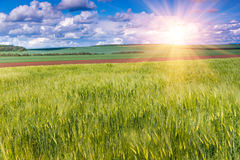 The field of green ears of barley at springtime. Royalty Free Stock Photography
