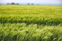Field with green ears of corn Royalty Free Stock Images