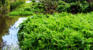 Field of green ferns Royalty Free Stock Images