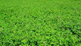 Field of green flowering clover. A field of a green flowering clover stock video footage