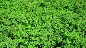 Field of green flowering clover. A field of a green flowering clover stock video