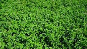Field of green flowering clover. A field of a green flowering clover stock footage