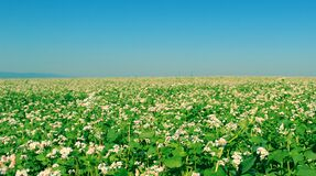Field of Green Flowering Plants Stock Image