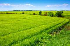 Field of green fresh grain and beautiful blue sky Stock Photo