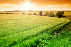 Field of green fresh grain and sunny sky. Field of green fresh grain and sunny orange sky Stock Images