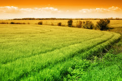 Field of green fresh grass and colorful sky Royalty Free Stock Photo