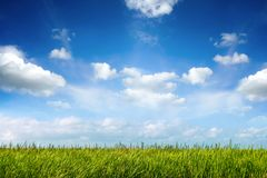 Field of green fresh grass under blue sky Royalty Free Stock Image