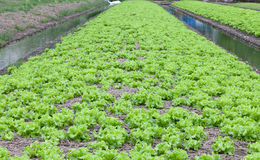 Field of green fresh lettuce growing at a farm Royalty Free Stock Photos