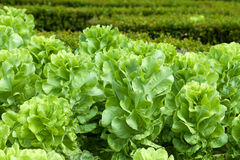 Field of Green Frisee lettuce Stock Photo