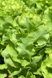 Field of Green Frisee lettuce Stock Photos