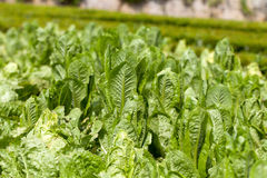 Field of Green Frisee lettuce Royalty Free Stock Photos